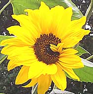 sunflower - a processed oil