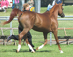 trotting up horse to diagnose shoulder lameness