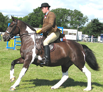 colured cob ridden in a double bridle