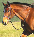 Horse ridden in a Standing Martingale
