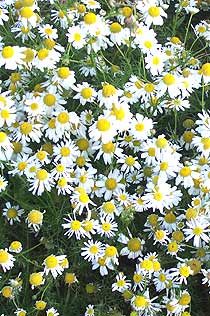 Chamomile - calming essential oil  for horses